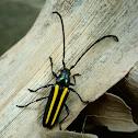 Lophalia Longhorn beetle
