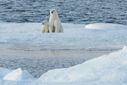 Ponant-polar-bears.jpg - Explore the Arctic and see polar bears from your Ponant luxury expedition ship.