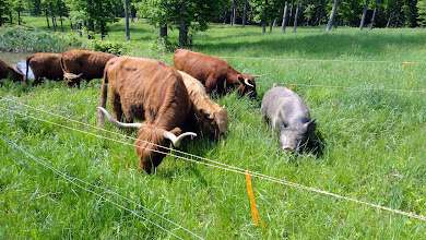 Photo: highlands and berkshire hogs co-grazing