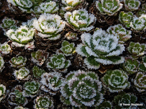 Photo: Frosted Saxifrage Leaves
