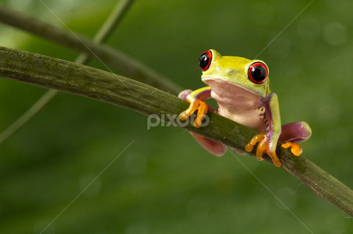 Baby Tree Frogs For Sale The Baby Red Eyed Tree Frog by