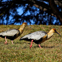 Bandurria Austral