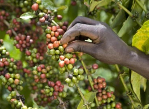Coffee production to dive to 56 year low as farmers scale down