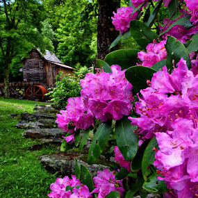 Spring Gristmill by Forest Wander - Landscapes Travel ( rhododendrons, west virginia, spring, gristmill )