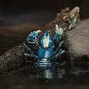 Lamington Spiny Crayfish