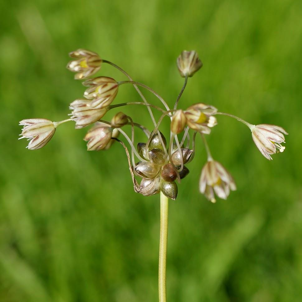 bloem en broedbolletjes