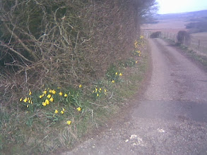 Photo: The 15minutes it takes to cycle upto 400ft at Fulletby rewarded with a lane of daffs to go with the 25mile all round views