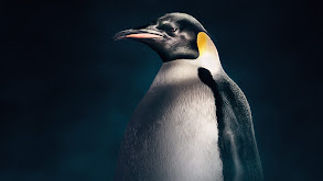 Emperor Penguins thumbnail