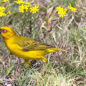 Take time to smell the flowers by Ailsa Burns - Animals Birds ( bird, weaver, yellow, flowers, birds, flower )