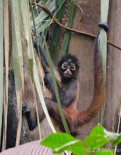 Photo: Spider Monkey @ Bosque del Cabo Lodge, Osa Peninsula