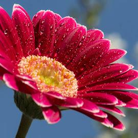 Facing the sun by Panait Sorin - Flowers Single Flower ( water, facing, sun )