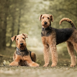 Majestic Airedale Terriers by Monicque van Rossum - Animals - Dogs Portraits ( dogs, autumn, fall, forest, airedale terrier, netherlands, portrait )