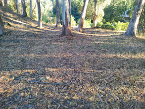 Photo: This is what the forest floor of eucalyptus grove looks like after thinning and removing of the litter.