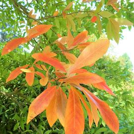 The orange leaves by Svetlana Saenkova - Nature Up Close Leaves & Grasses ( orange, orange leaves, orange and green )