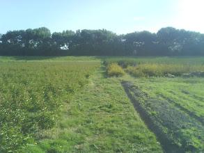 Photo: ochtendzonnetje achterop het perceel, met links de pioenrozen, rechtsachter confineren (gaan beide nog weg) en rechtsvoor de gerst