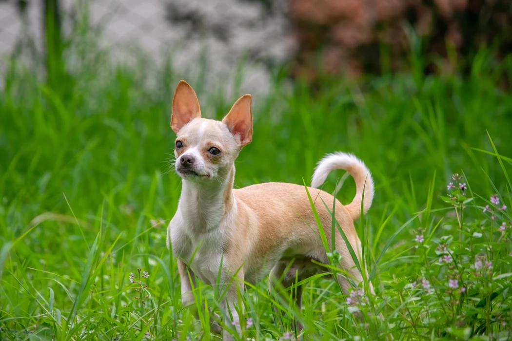 small dog breed, chihuahua