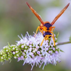 Wasp on Rosemary Flower.jpg