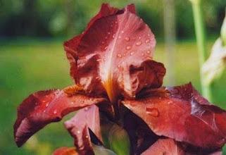 Photo: Iris sous la rosée