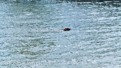 Photo: A dog swimming in the river.
