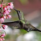 Beija-flor-cinza (Sombre Hummingbird)