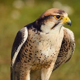 Les prémices de l'envol by Gérard CHATENET - Animals Birds