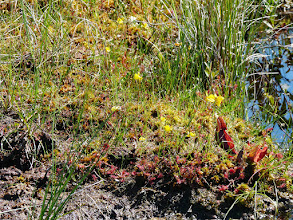 Photo: Pitcher plants, sindews, ballfder worts and sphagnum mosses provide the colour.