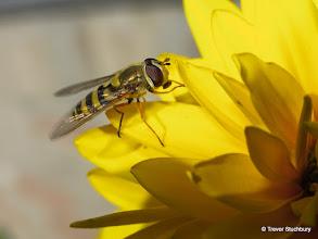 Photo: Hoverfly on Dahlia