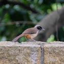 Garrulax perspicillatus 黑臉噪鶥