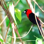 Pipira-de-máscara (Masked Crimson Tanager)