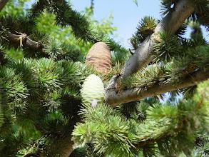 Photo: Conos de cedro