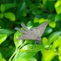 Butterfly Hesperiidae