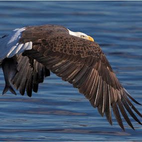 Bald Eagle Fly's Low With a Fish  by Jamie Link - Animals Birds ( wild, mississippi river eagle watching, lock and dam 14, wildlife photography, bald eagle, eagles, eagle fishing, davenport iowa, north american bald eagle, national geographic, mississippi river, army core of engineers, raptors, birds in flight )