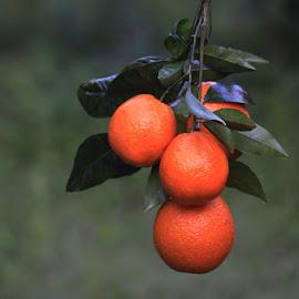 by Necdet Yaşar - Food & Drink Fruits & Vegetables ( orange, oranges, fruits, nature, fruit )