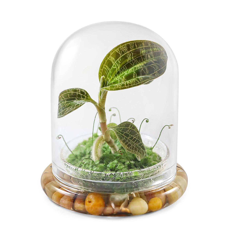 Jewel Orchid Macodes. petola Terrarium in Self Sustaining | Etsy