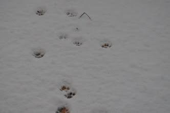 """Photo: Petjades de """"tigre siberià"""""""