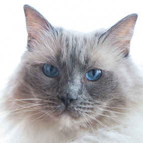 Royal by Mario Kociper - Animals - Cats Portraits ( cats, cat, beautiful, blue eyes, portrait, animal )