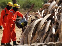 Kenya Wildlife Service rangers prepare to burn 15 tonnes of ivory confiscated from smugglers