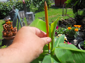 Photo: A series of shots showing leafroll growth to a new leaf-Over half the pencil now and widening out