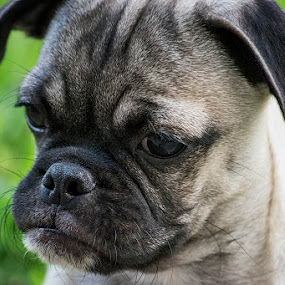 Goyo by Sergio Yorick - Animals - Dogs Puppies ( dog portrait, puppy, dog, pug, animal,  )
