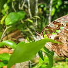 Tailed jay, Green-spotted triangle