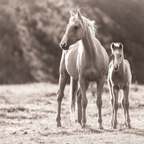 Morning Light by Glenys Lilley - Black & White Animals ( palomino, mare, morning light, horse, foal,  )