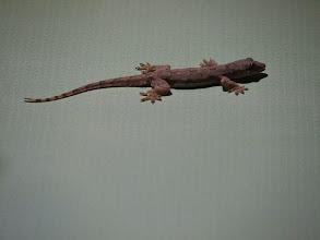Photo: Gecko - Bangkok