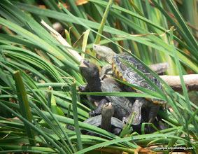 Photo: Turtles (sp?) on the upper Texas Coast