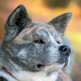 Akita Autumn Time by Magdalena Sikora - Animals - Dogs Portraits ( dog brindle akita autumn )