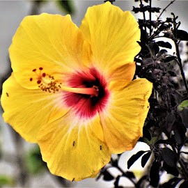 Hibiscus Flower by Rajeev Sinha - Flowers Single Flower ( red, macro, white, nature, ant, reddish-yellow hibiscus cultivar, single flower, yellow, hibiscus flower, flower )