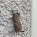 Angle-lined Prominent Moth