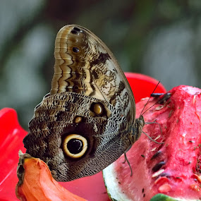 Butterfly #2 by Simon Hanžurej - Animals Other (  )
