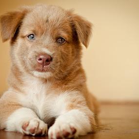 nimrod by Ben Brian Banao - Animals - Dogs Portraits ( icewater, pets, nimrod, dog, philippines, cavite )