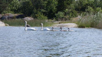 Photo: Swan family chose a vacation by the sea
