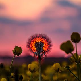 Dandelion Sunset by Graham Kidd - Landscapes Sunsets & Sunrises ( sunset, gold, flowers, sunlight, bokeh )